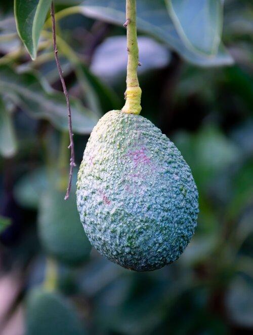 Avocado auf dem Baum